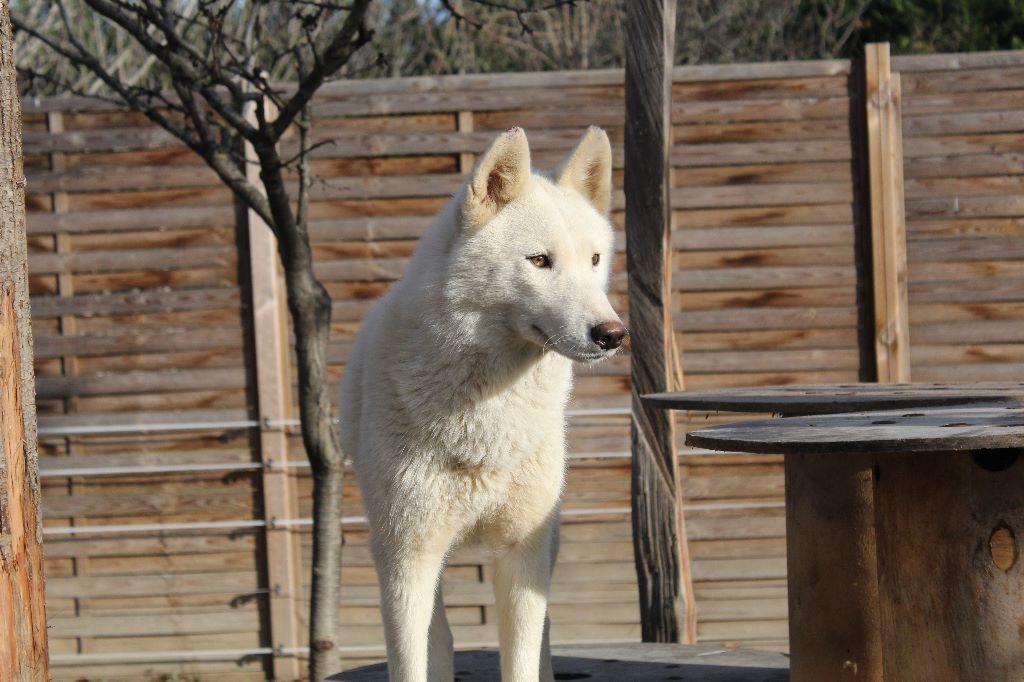 Les Siberian Husky de l'affixe Des Loups Des Pyrenees