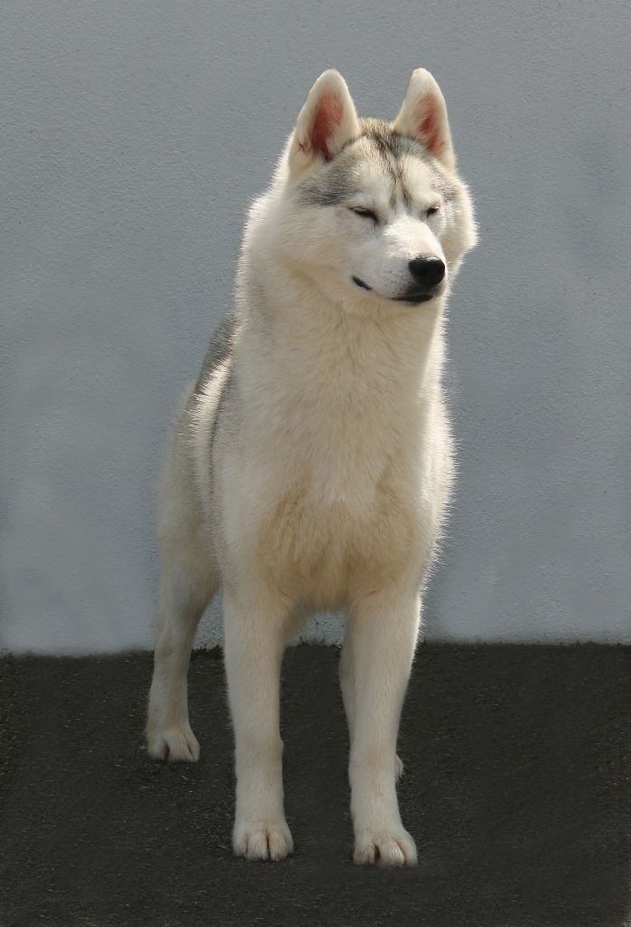 Siberian Husky - Just a pearl of Nordic Forest