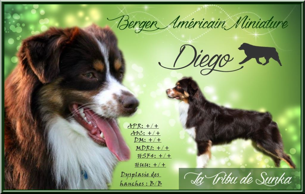Mini Berger Americain - Guettawiggleon's easy come easy go dit diego