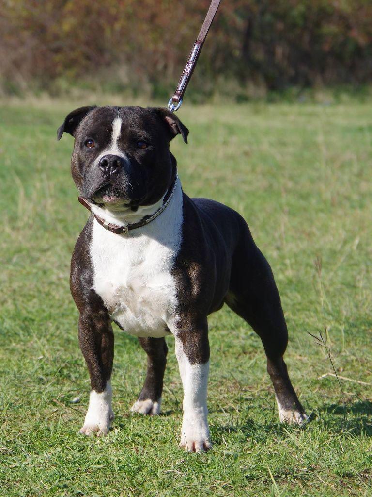 Staffordshire Bull Terrier - Lascar
