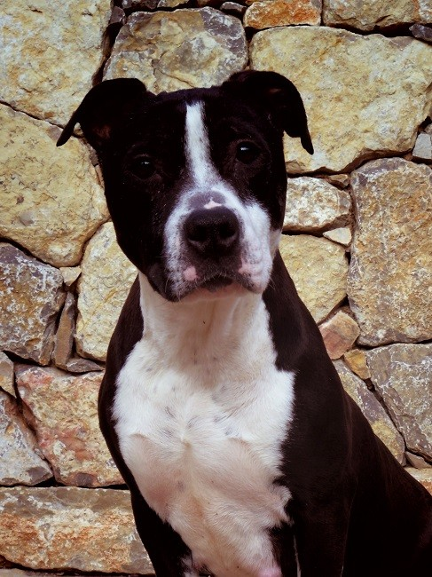 L' duralex sedlex du Sarmizegetusa Regia American Staffordshire Terrier