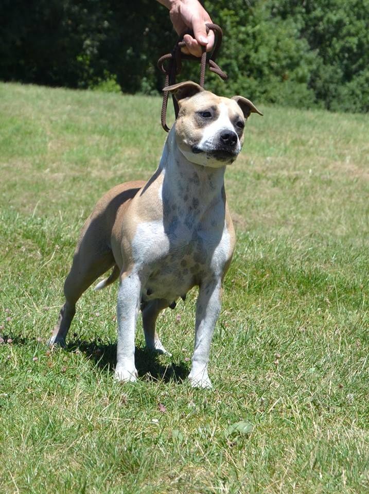 Les American Staffordshire Terrier de l'affixe Du Clan Vincenzo