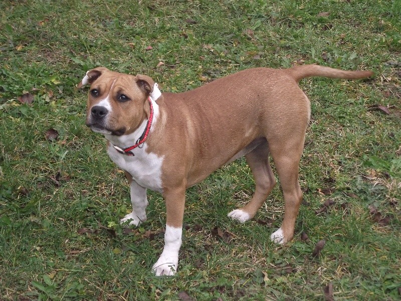 American Staffordshire Terrier - Miss chipie By Gold Black Mountain