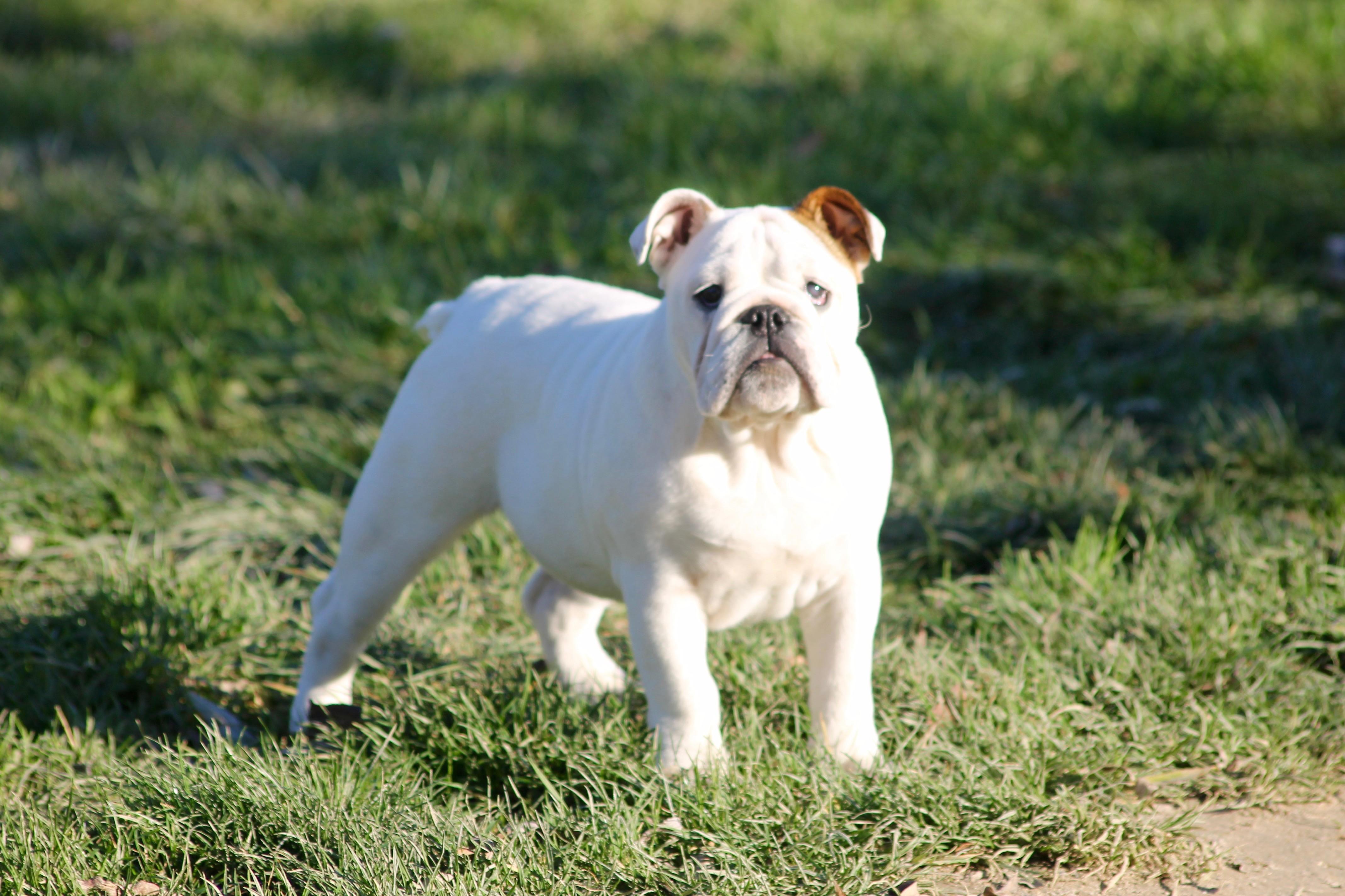 Les Bulldog Anglais de l'affixe De l'Empire d'Idefix