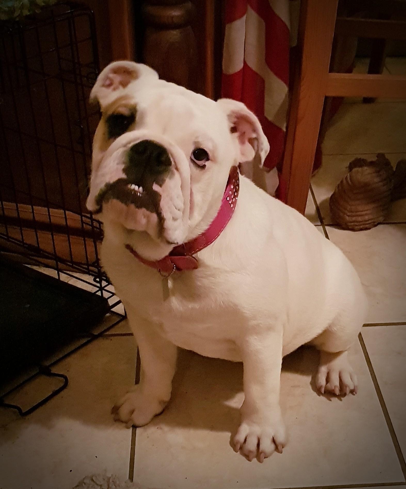 Les Bulldog Anglais de l'affixe D'an Nor Vras