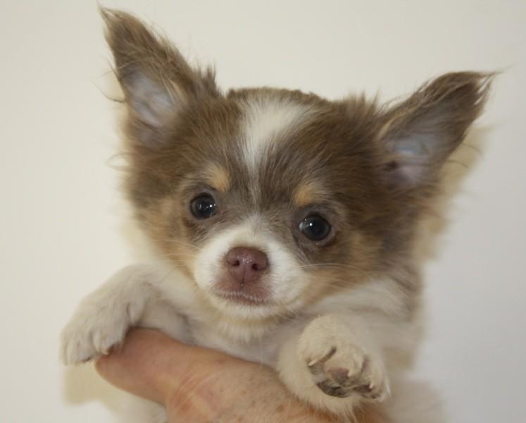 Les Chihuahua de l'affixe Le parfum des lavandes