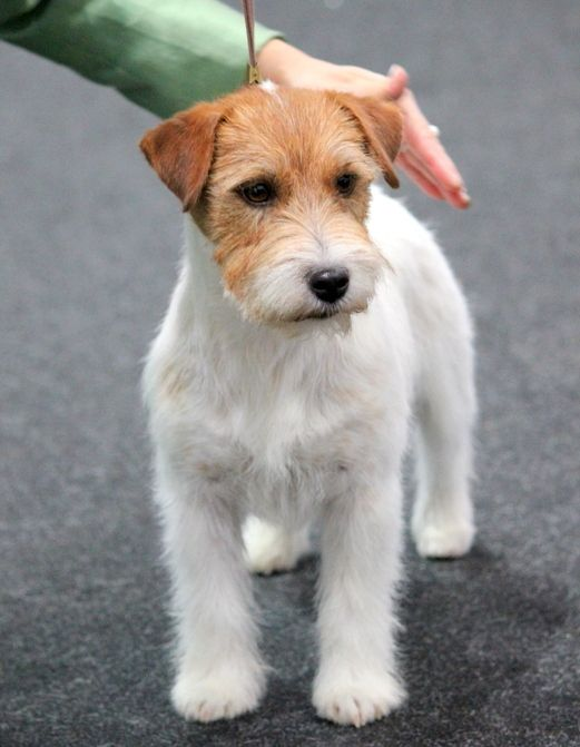 Les Jack Russell Terrier de l'affixe Royal Fox Road