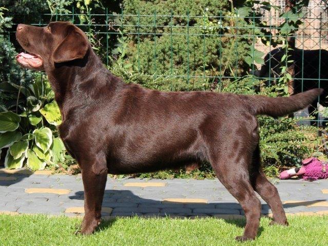 Labrador Retriever - CH. Hampton epoch mozart at herbu zadora