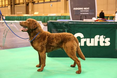 Retriever de la baie de Chesapeake - CH. longmeadow Dundela's mcintosh