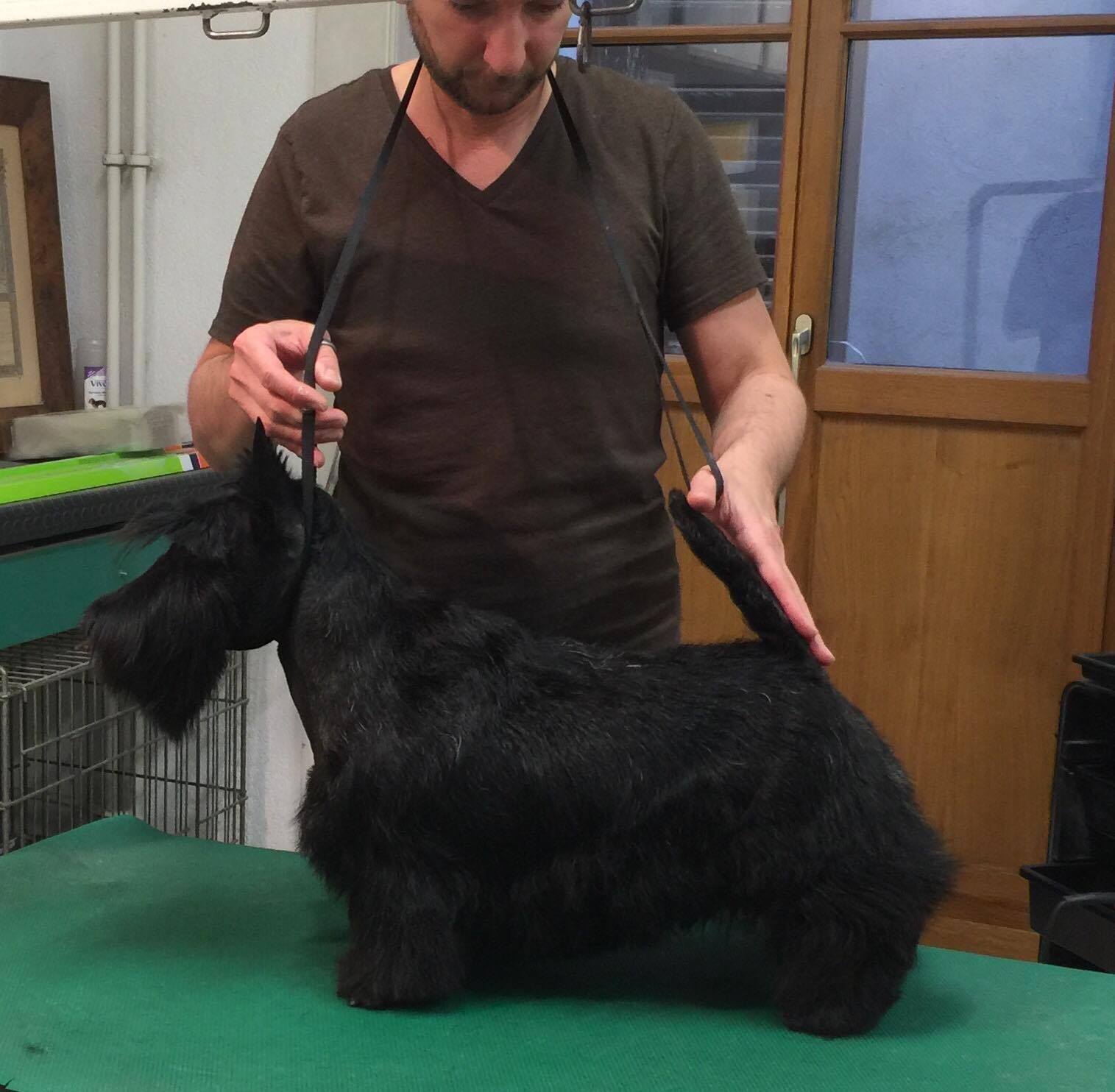 Les Scottish Terrier de l'affixe Des boules du mont d'Ayot