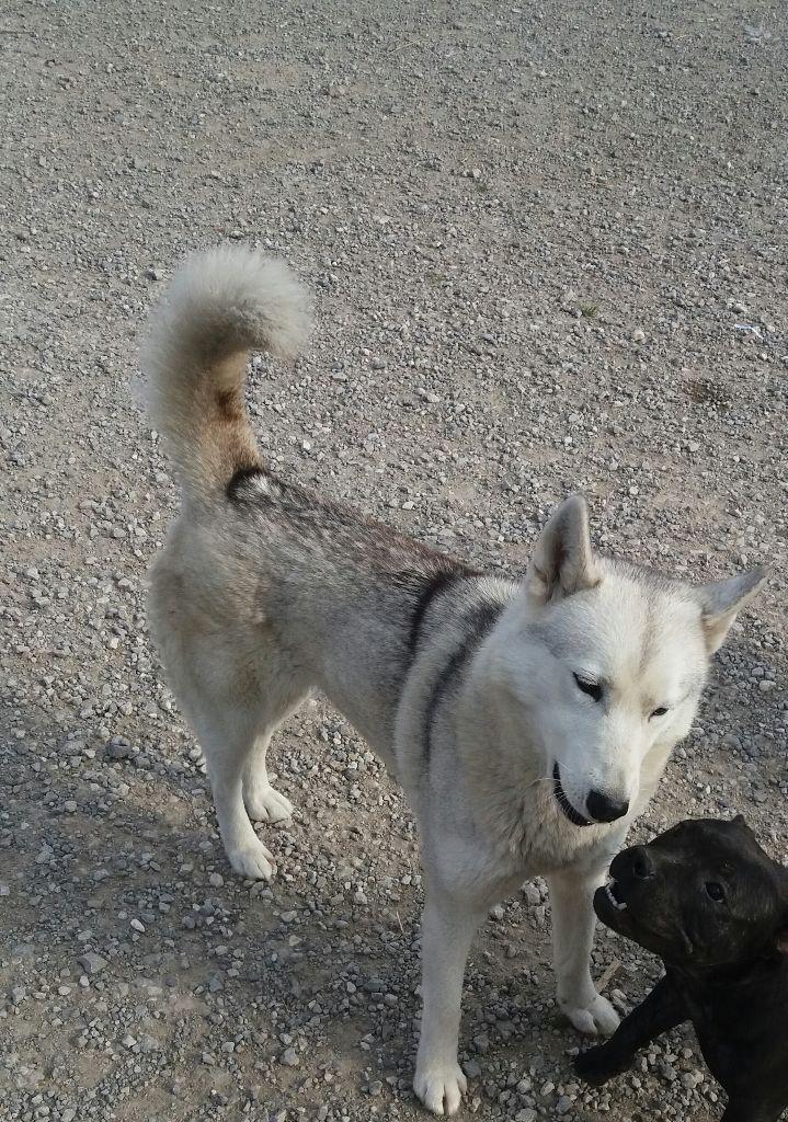 Siberian Husky - Inoha Angels Of The Ices