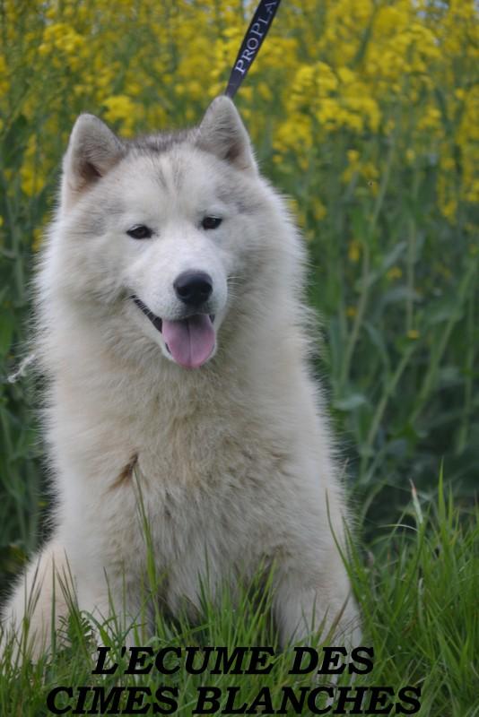 Siberian Husky - Latino de l'écume des cimes blanches