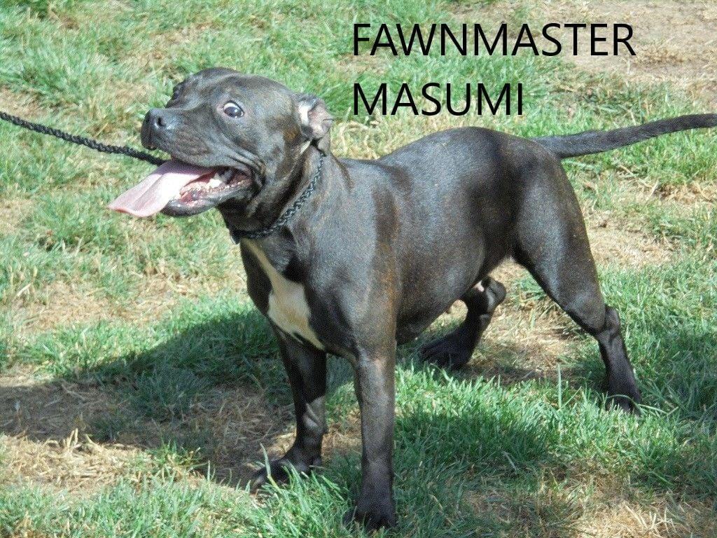 Staffordshire Bull Terrier - Fawnmaster Masumi
