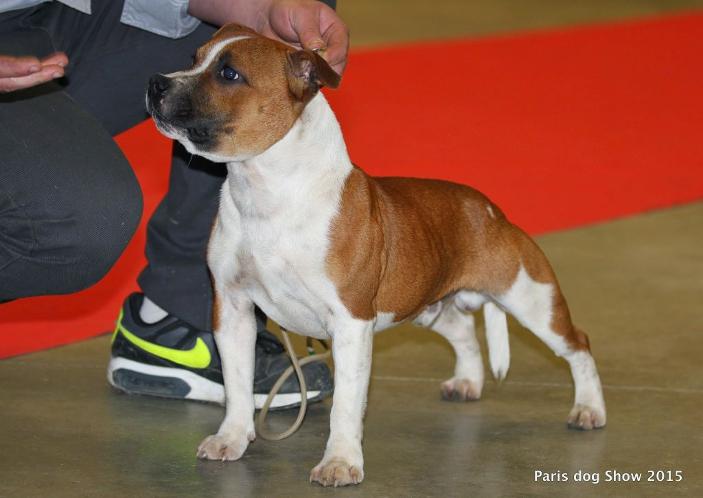 Staffordshire Bull Terrier - -capone- james capone des terres indiennes