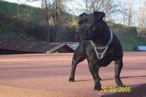 Staffordshire Bull Terrier - Hammy del clan de versailles