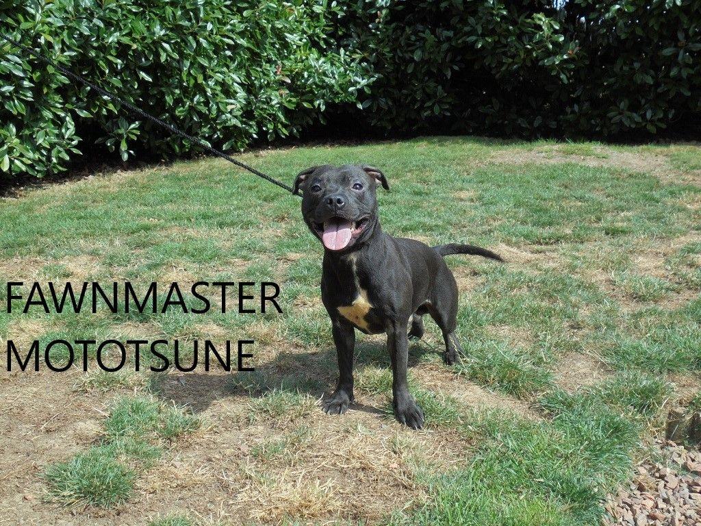 Staffordshire Bull Terrier - Fawnmaster Mototsune