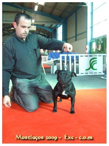 Staffordshire Bull Terrier - Morenita del clan de versailles