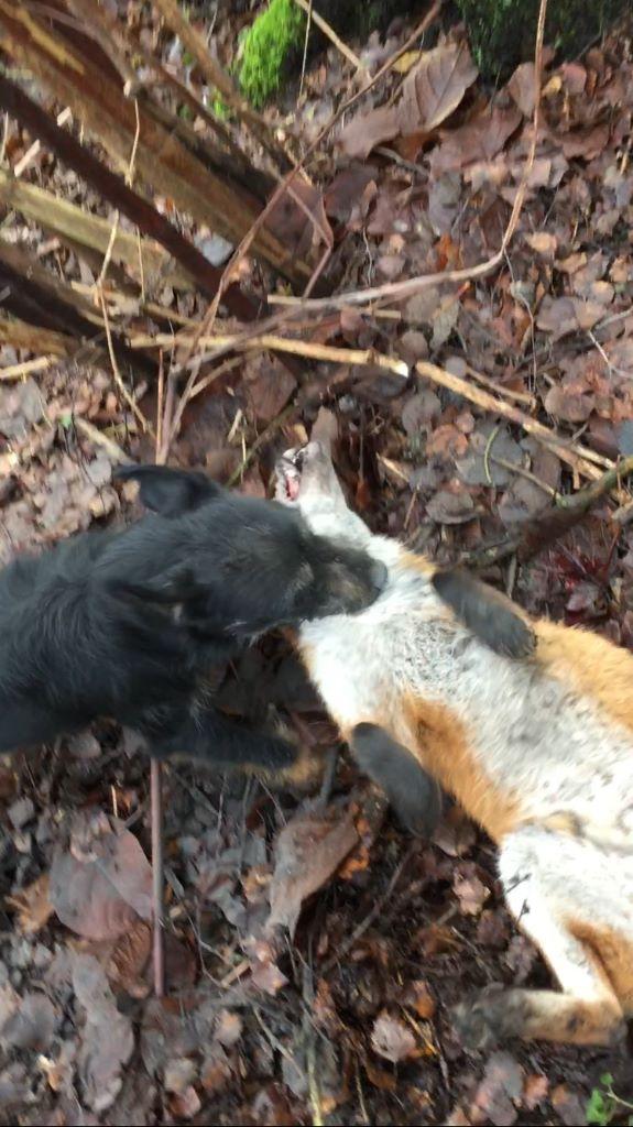Les Terrier de chasse allemand de l'affixe du Clos de Reve d'Or