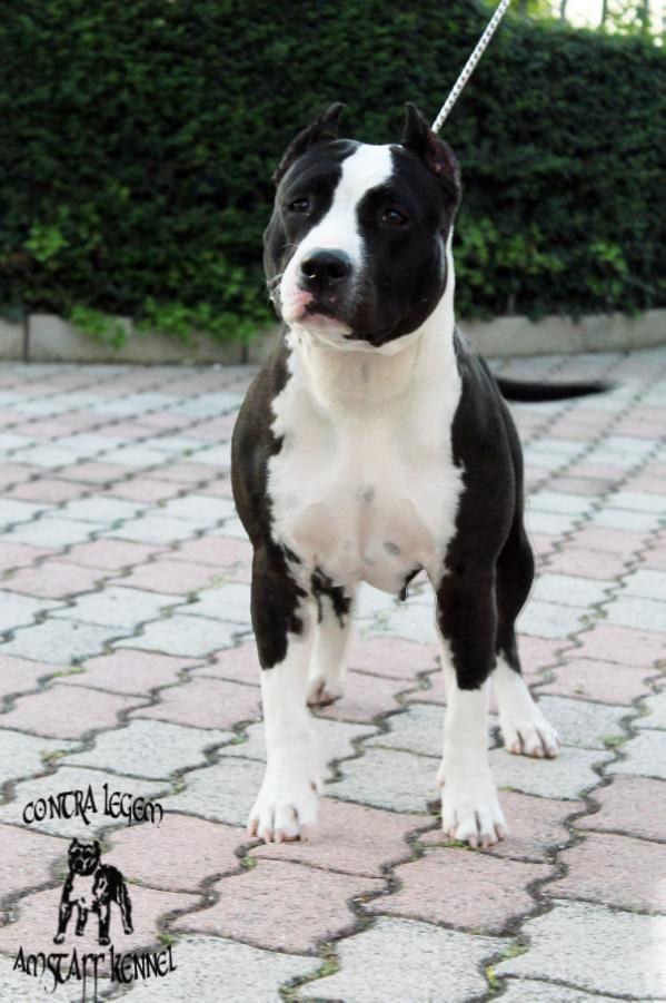 contra legem American maya American Staffordshire Terrier