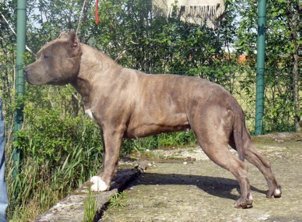 Miami blu phantom (Sans Affixe) American Staffordshire Terrier