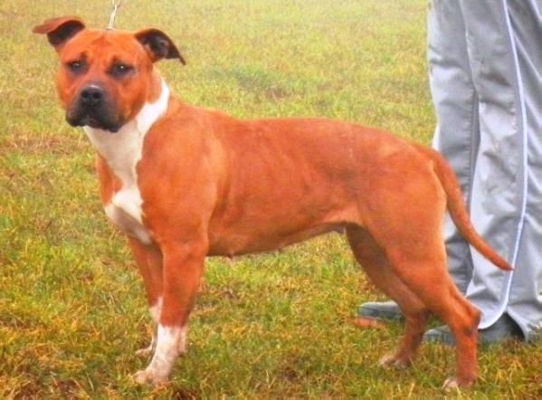 Phantom ruff lady indiana (Sans Affixe) American Staffordshire Terrier