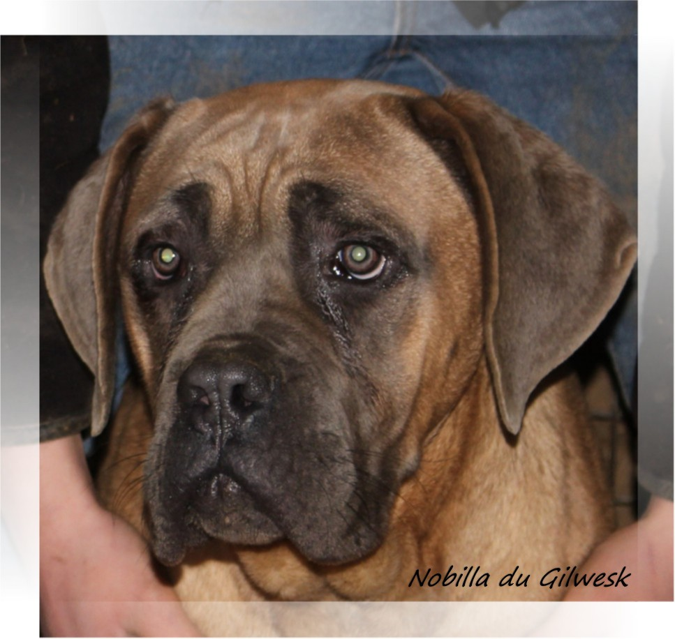 Chien Cane Corso 61 Elevage Du Gilwesk