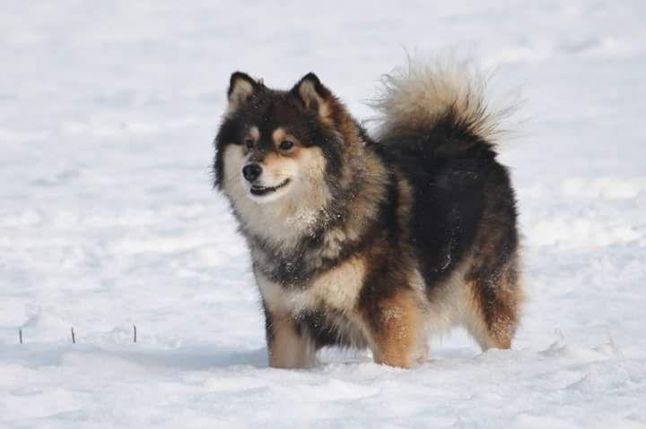 Le Standard de la race Chien finnois de Laponie sur Atara.com