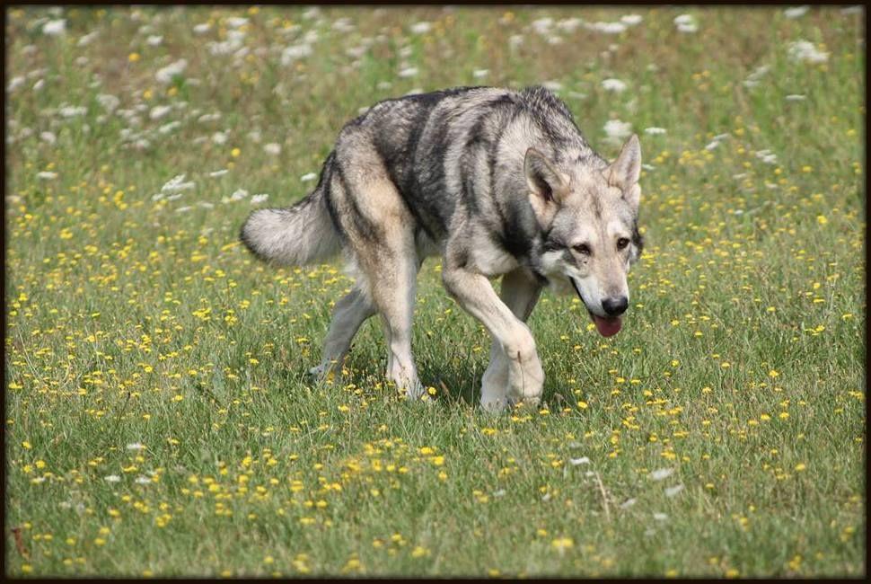 Les Chien-loup de Saarloos de l'affixe De Luna Canis Lupus