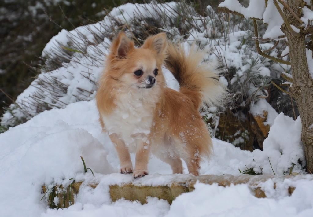 Les Chihuahua de l'affixe des P'tits Sucres d'Orge