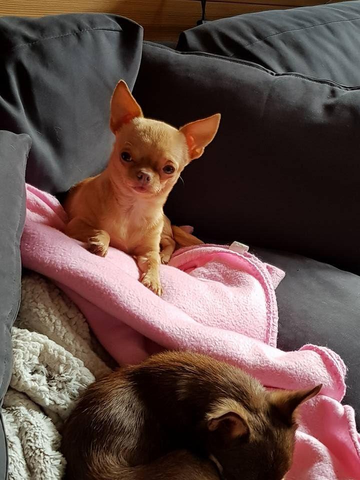 Chihuahua - Lady belle caramel du royaume des petits Anges