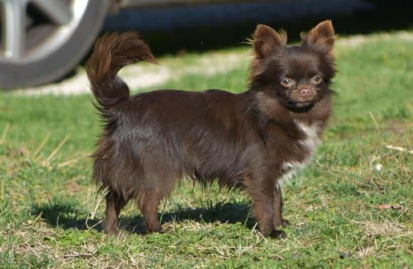 Chihuahua - Norton des légendes d'Athena