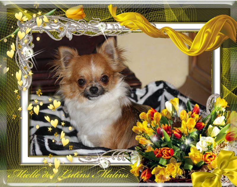Les Chihuahua de l'affixe Du val de la lauriere