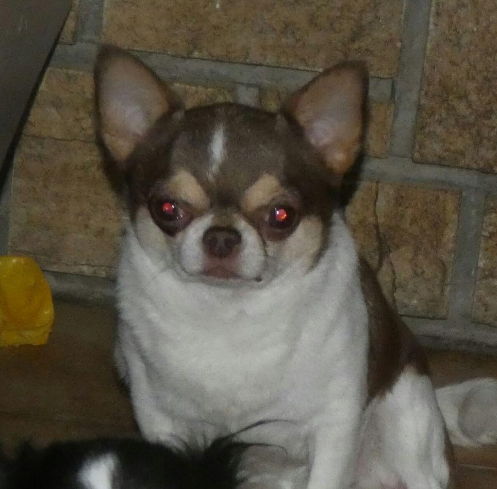 Les Chihuahua de l'affixe des ptits dragons de cupidon