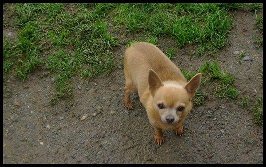 Les Chihuahua de l'affixe de la plaine de nay