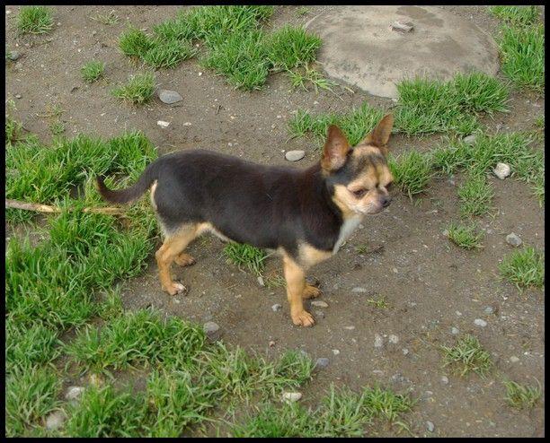 Chihuahua - Gulliver de nottingley