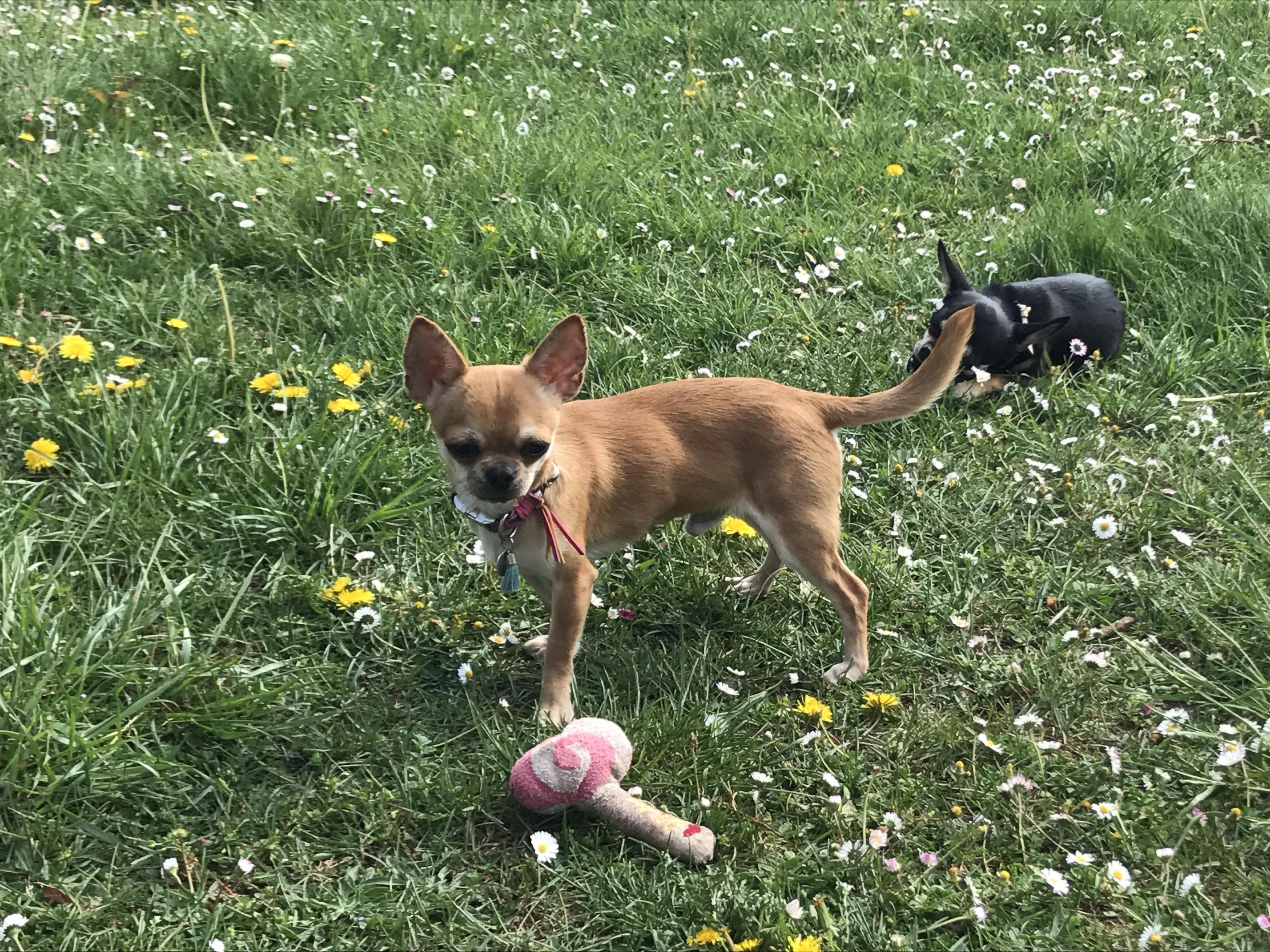 Nikki dogomania Chihuahua