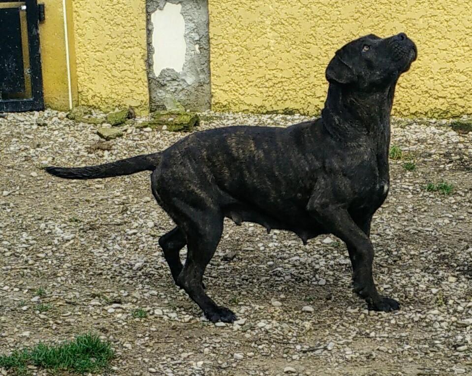 Dogue de Majorque - Luzie de Can Bourbon
