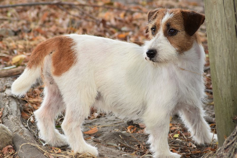 Jack Russell Terrier - All Jacks Route sixty six
