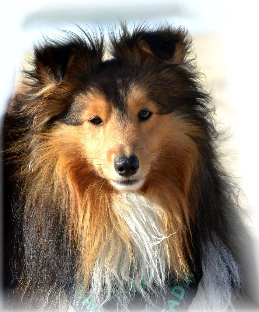 Le kettu De chiroulet Shetland Sheepdog