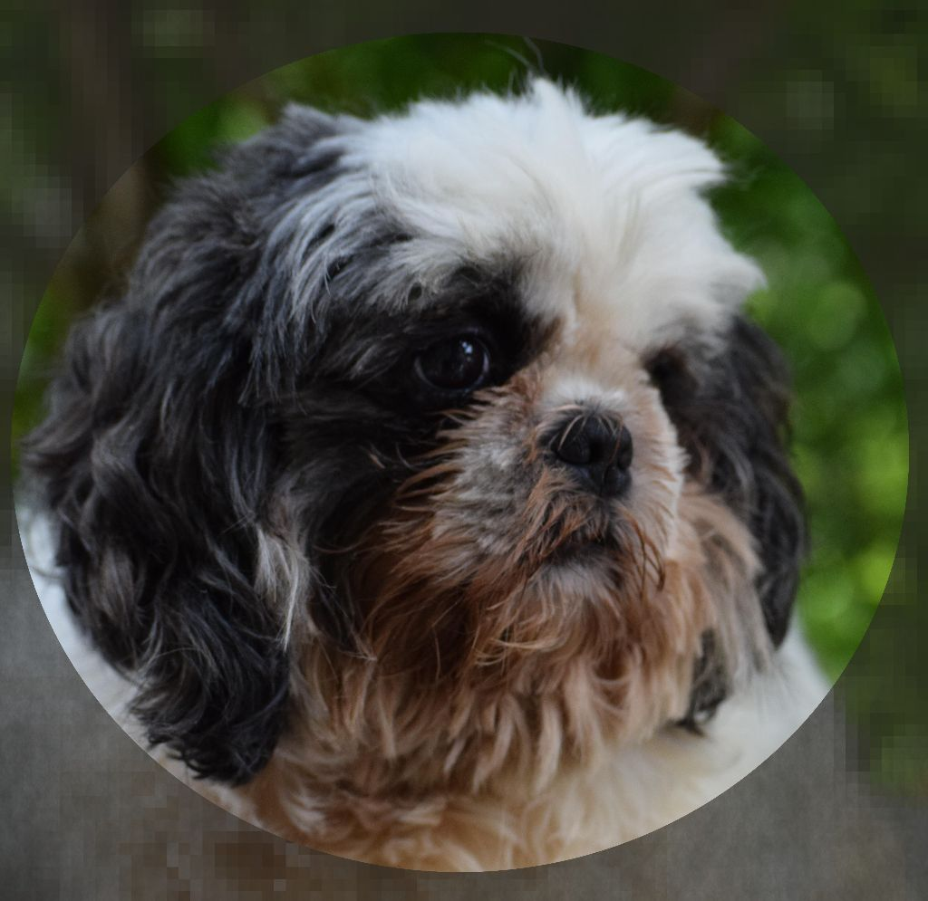 Shih Tzu - Lee-ming-lee dho Valtess
