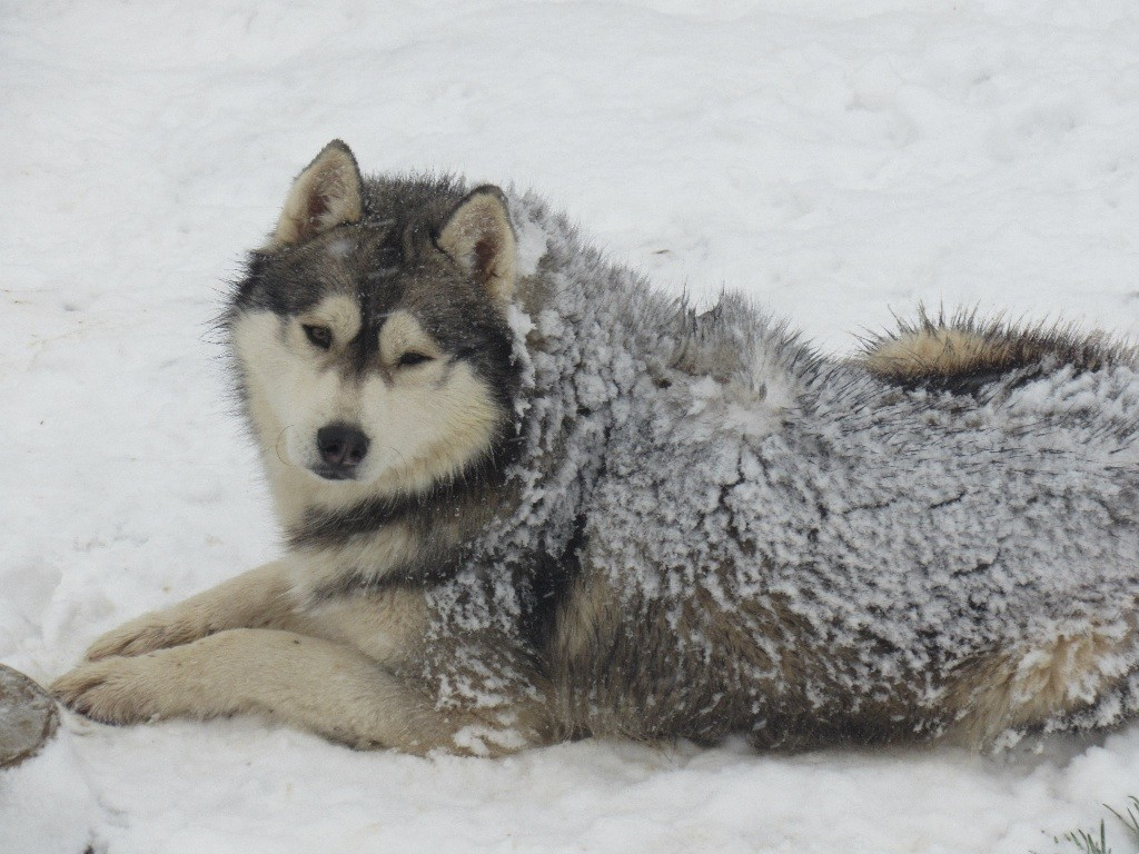 Siberian Husky Quebec Chien - Elevage...