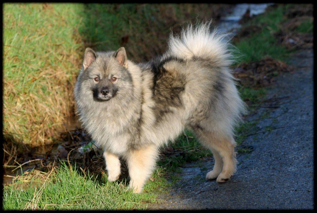 Les Spitz allemand de l'affixe De Luna Canis Lupus