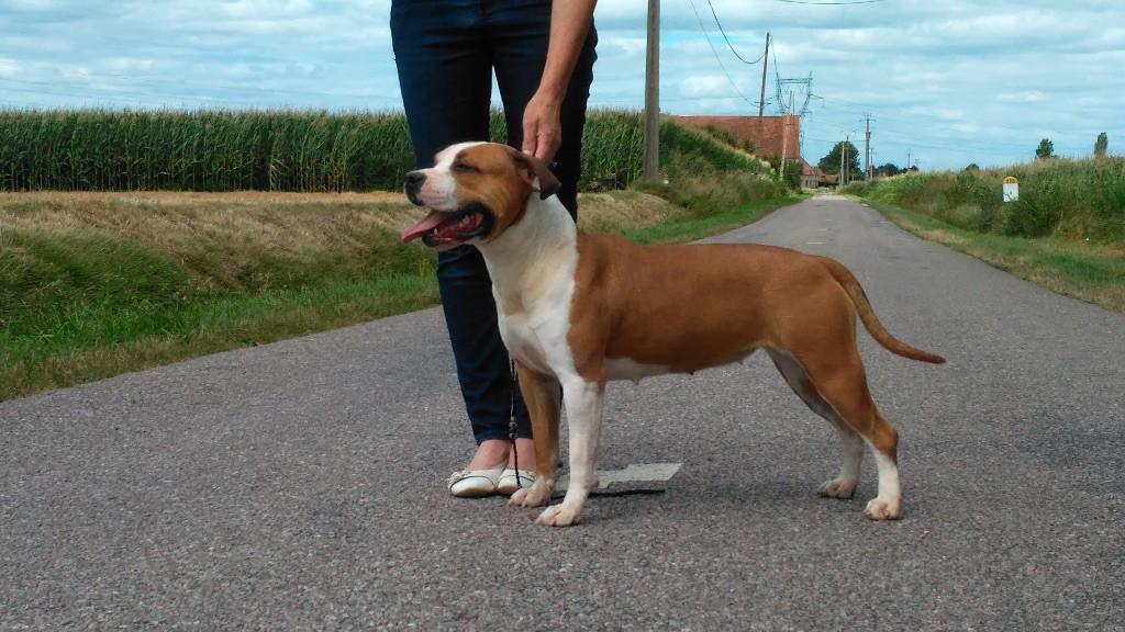 American Staffordshire Terrier - Mya De L'éclat Du Diamant