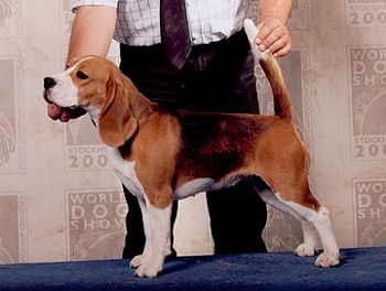 CH. absolutely spotless Tonia Beagle