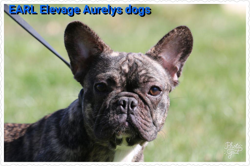 Les Bouledogue français de l'affixe Aurely's Dogs