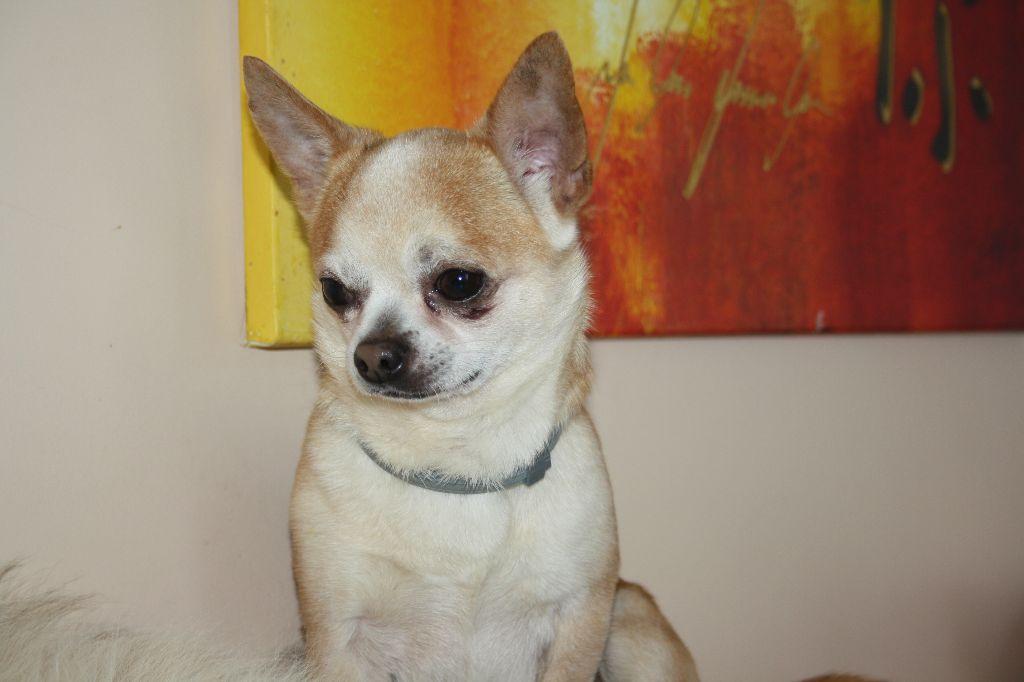 Les Chihuahua de l'affixe des Jardins de l'Atlantique