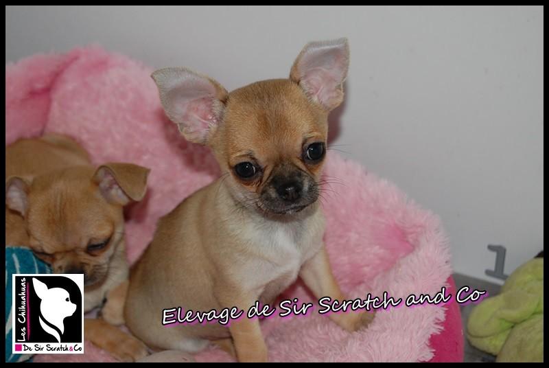 Chihuahua - Nidoqueen de Sir Scratch and Co