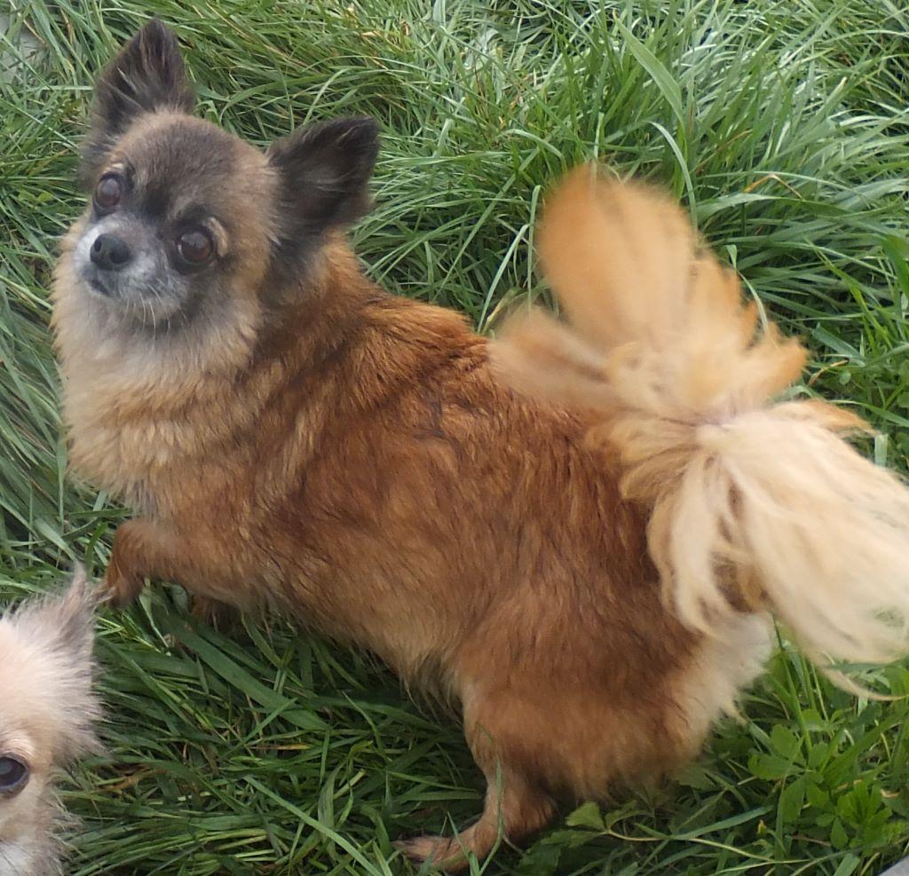 Les Chihuahua de l'affixe Du Domaine Des Beautés Divines