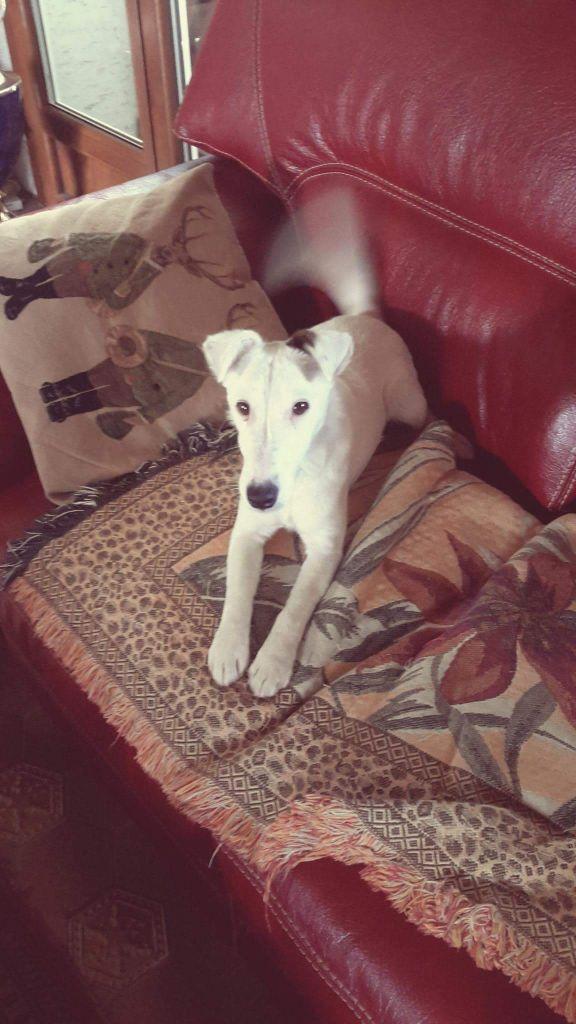 Fox Terrier Poil lisse - Jupiler de la meute champenoise