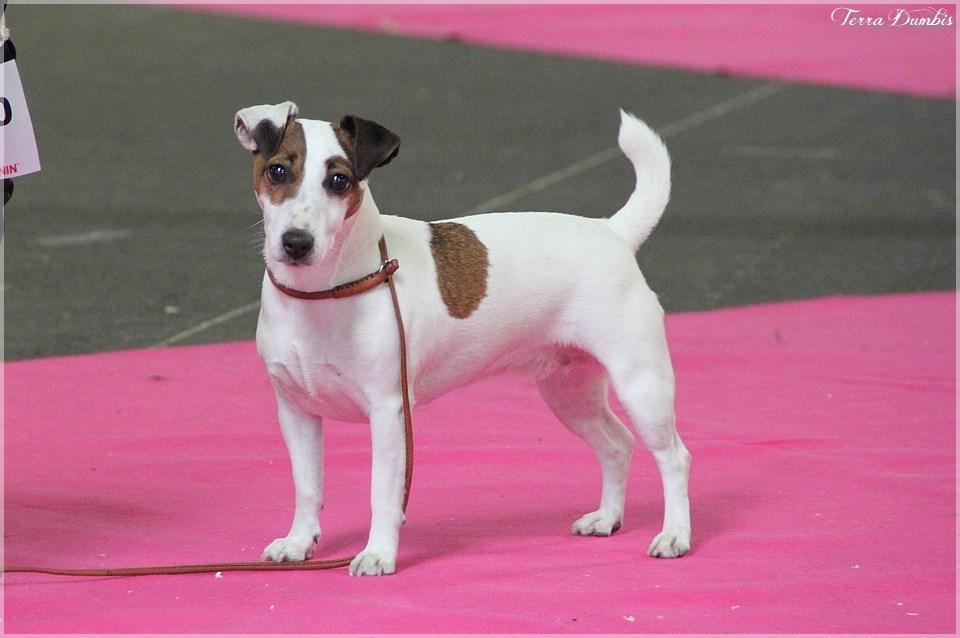 Les Jack Russell Terrier de l'affixe de L'Asie Zanie du Marais